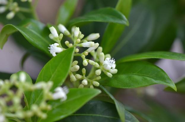 Psychotria ligustrifolia 5-27-20