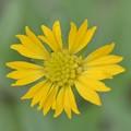 Gaillardia spp. 5-27-20
