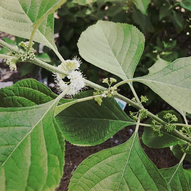 Beautyberry II 5-27-20