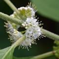 Beautyberry I 5-27-20