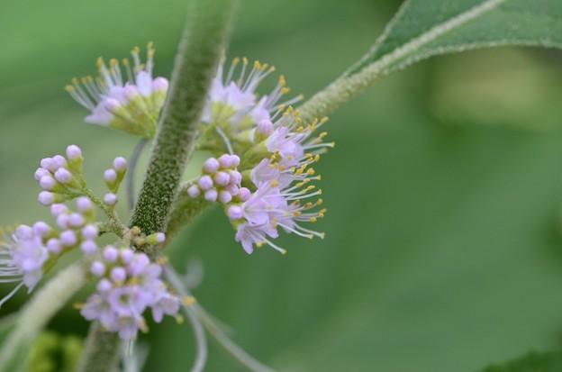 Beautyberry III 5-27-20