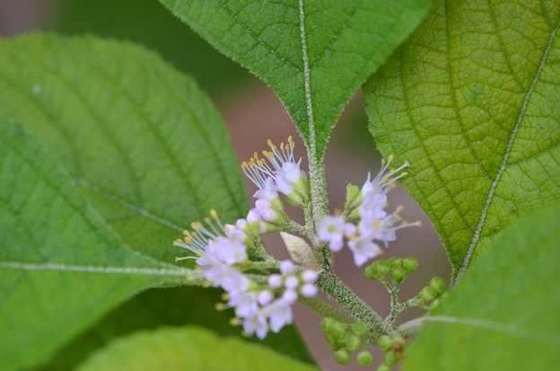 Beautyberry IV 5-27-20