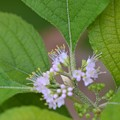 Photos: Beautyberry IV 5-27-20
