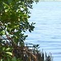 Black Mangrove 5-27-20