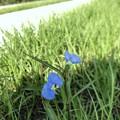 Whitemouth Dayflower 6-11-20