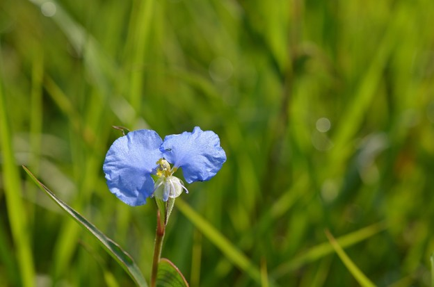 Commelina erecta 6-14-20