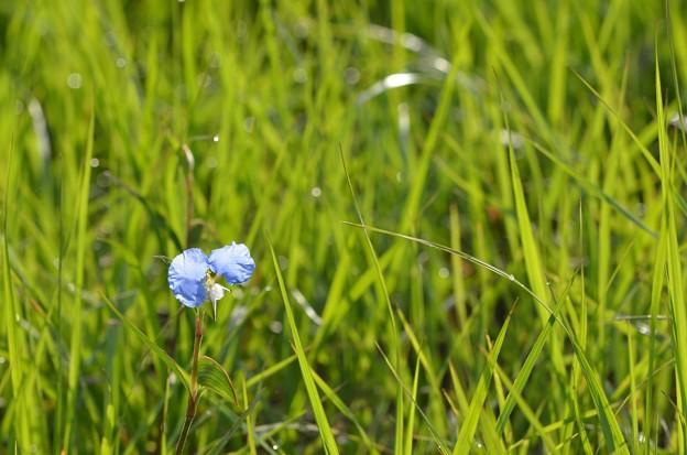 Whitemouth Dayflower 6-14-20