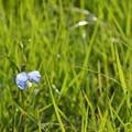 Photos: Whitemouth Dayflower 6-14-20