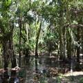 VERY Tropical Hardwood Hammock 6-14-20
