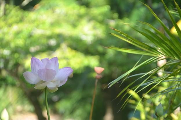 Photos: Sacred Lotus I 6-25-20