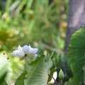 White Lotus 6-25-20