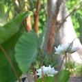 White Lotuses 6-25-20