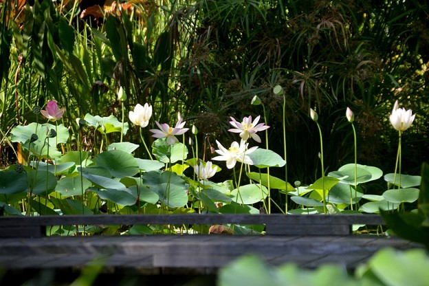 Lotus Pond in Distance 6-25-20