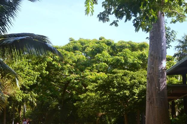 Baobab and Monkeypod 6-25-20