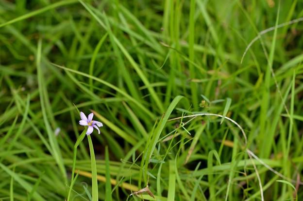 Photos: Narrowleaf Blue-Eyed-Grass 6-25-20