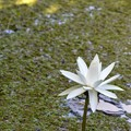 Water Lily 6-25-20