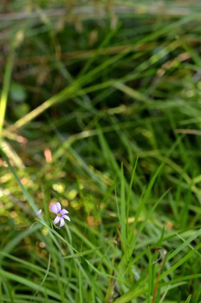 Photos: Narrow-Leaf Blue-Eyed-Grass 6-25-20