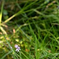 Narrow-Leaf Blue-Eyed-Grass 6-25-20