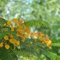 Yellow Royal Poinciana 6-25-20