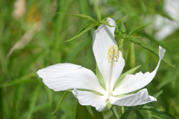 White Swamp Hibiscus 6-25-20
