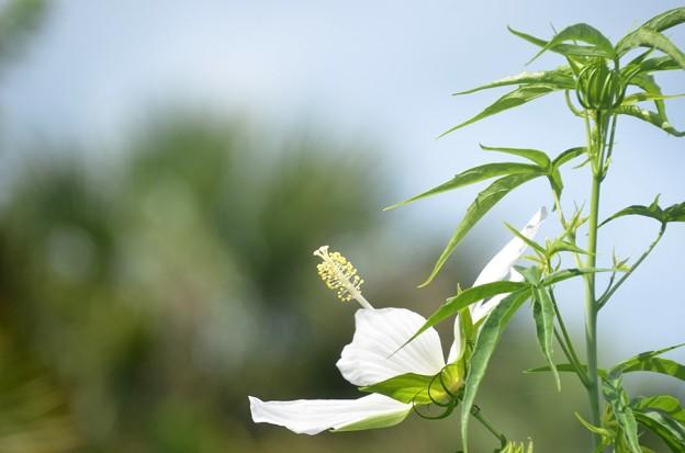 Hibiscus coccineus Albus 6-25-20