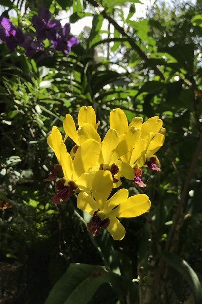 Yellow Orchids 6-25-20