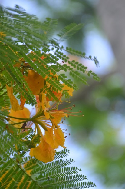 Yellow Poinciana 6-25-20