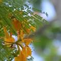 Photos: Yellow Poinciana 6-25-20