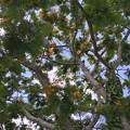 Royal Poinciana Tree