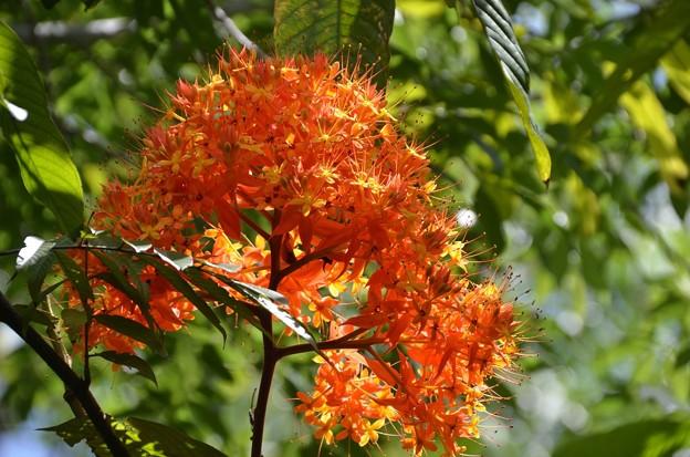 Ashoka Tree 6-25-20