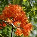 Photos: Ashoka Tree 6-25-20