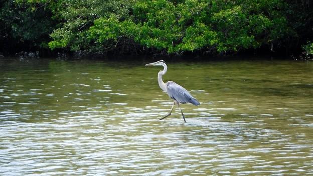 Photos: Great Blue Heron 7-14-20