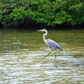 Photos: Great Blue Heron 7-14-20