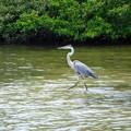 Great Blue Heron 7-14-20