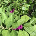 American Beautyberry 7-25-20