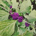 Photos: American Beautyberry 8-23-20