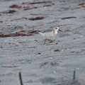 Photos: Sanderling 9-2-20