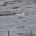 Photos: Sanderling 9-2-20