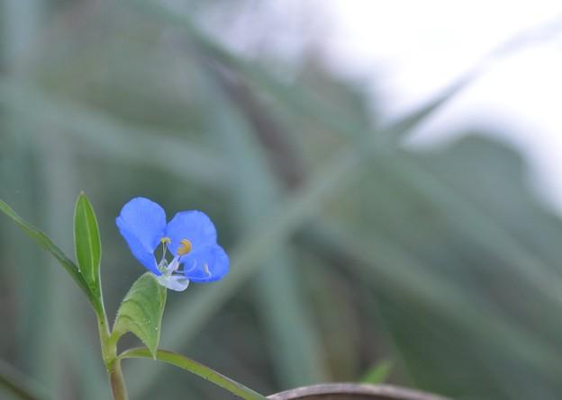 Whitemouth Dayflower I 9-2-20