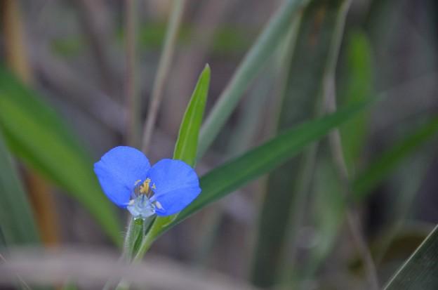 Whitemouth Dayflower II 9-2-20