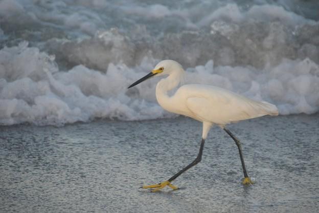Photos: Snowy Egret 9-2-20