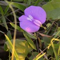 Photos: Spurred Butterfly Pea 9-2-20