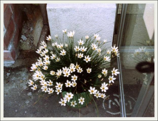 おばあちゃんのタマスダレ c.1981