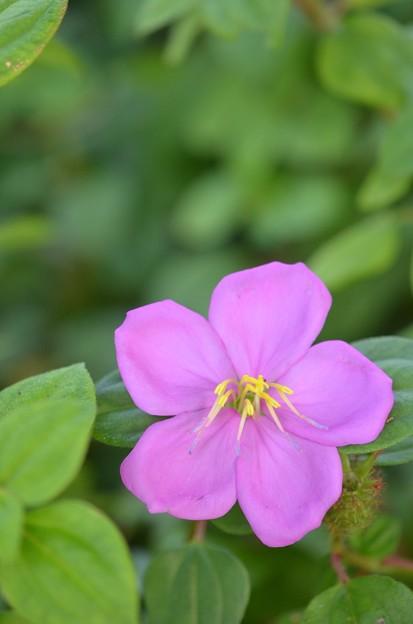 Dissotis rotundifolia 9-20-20