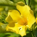 Golden Trumpet Vine 9-20-20