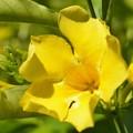 Photos: Golden Trumpet Vine 9-20-20