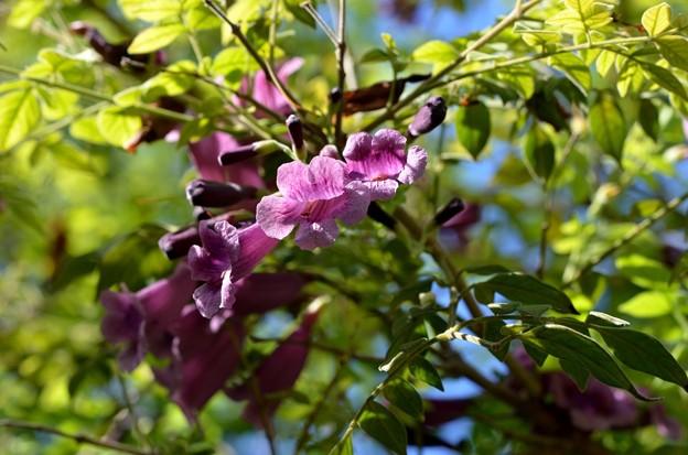 Jacaranda jasminoides II 9-20-20