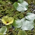 Waterpoppy I 9-20-20