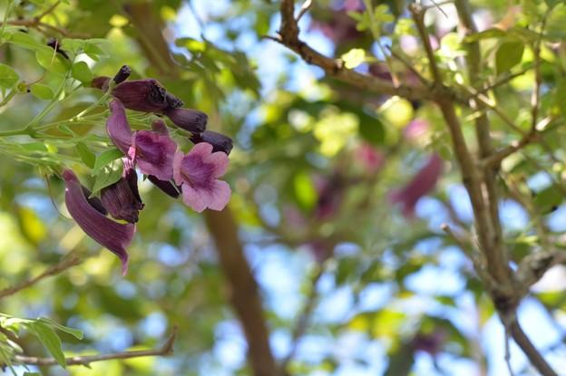 Jacaranda jasminoides I 9-20-20