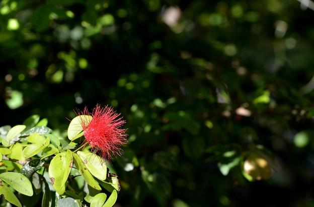Red Powderpuff 9-20-20